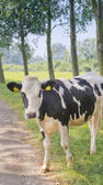 Cow passing by — Stock Photo