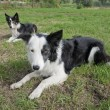 Stock Photo: Border Collies
