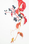 Autumn leaf with berries isolated — Stock Photo