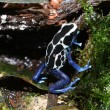 Poison dart frog in rainforest — Stock Photo