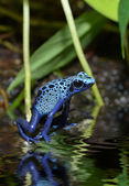 Blue poison frog in rainforest — Stock Photo