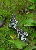Poison frog in rainforest — Stock Photo
