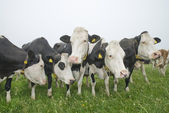 Cow in a meadow — Stock Photo