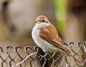 Sparrow — Stock Photo