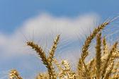 Trigo com azul céu nublado — Fotografia Stock