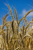 Wheat with blue cloudy sky — Stock Photo