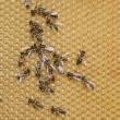 Working bees — Stock Photo #38556883