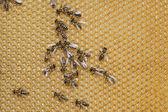 働き蜂 — ストック写真