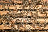 工作蜜蜂 — 图库照片