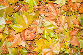 Fallen autumn leafs for background — Photo
