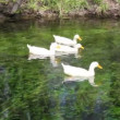 Stock Video: Duck, Duck, Goose. Ducks and goose swimming in water