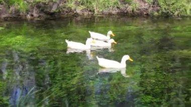 Duck, Duck, Goose. Ducks and goose swimming in water — Stock Video