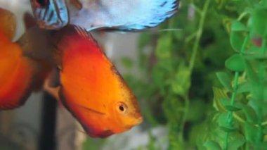 Discus fish — Stock Video