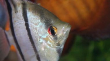 Angel fish. Scalare — Stock Video