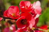 Blossomed tree - Chaenomeles japonica — Stock Photo