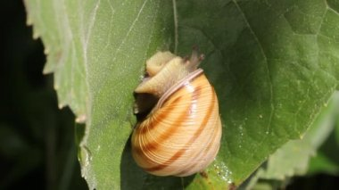 Snail walking on the leaf — Stock Video