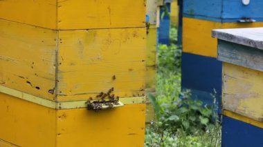 Honey bees infront of beehive — Stock Video