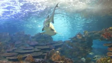 Tiger san shark. Fishes underwater — Stock Video