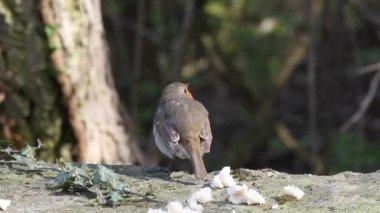 Robin bird — Stock Video