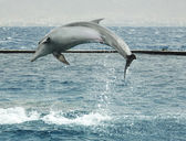 Jumping dolphin — Stock Photo