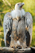 Griffon vulture (gyps fulvus) — Stock Photo
