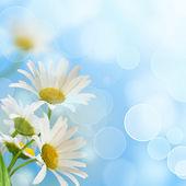 Daisywheels on blue background — Stock Photo