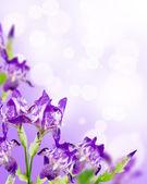 Flowers iris background — Stock Photo