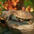 Royalty-Free Stock Photo: Terrapin