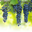 Blue grapes — Stock Photo #29622617