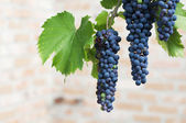 Purple wine grapes — Stock Photo