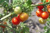 Ripening cherry tomatoes — Stock Photo