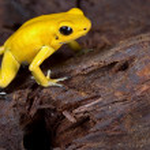 ������, ������: Poison frog