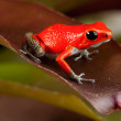 ������, ������: Red frog
