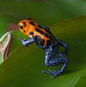 Zehirli ok mavi kurbağa bacağı kırmızı çizgili — Stok fotoğraf
