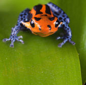 Frog red poison dart frog with bright blue legs — Stock Photo