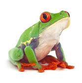 Rode eyed tree frog klimmende — Stockfoto