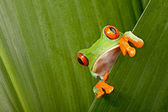 Red eyed tree frog peeping — 图库照片