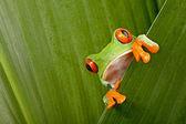 红眼睛的树蛙偷窥 — 图库照片