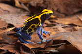 Poison frog — Stock Photo
