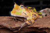 Horned toad Ceratophys cornuta — Stock Photo