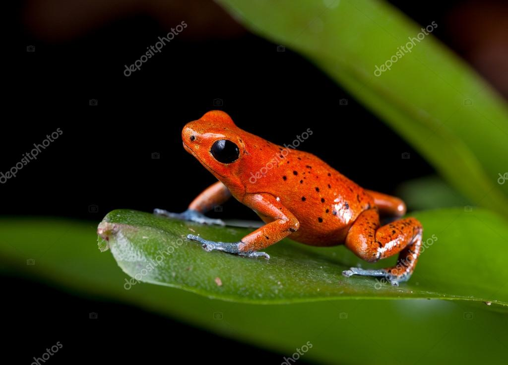 Amphibian Pricelist  Poison dart frog