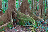 Tree roots tropical rainforest — Stock Photo