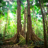 Gigantic trees in fan palm forest — Stock Photo