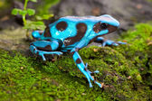Blue frog — Stock Photo