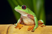 Flying tree frog Agalychnis spurrelli — Stock Photo