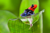 Dart frog — Stock Photo