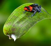 Poison dart frog Peru — Stock Photo