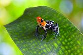 Poison arrow frog — Stock Photo