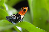 Fantastic poison dart frog — Stock Photo