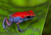 Poison dart frog Escudo — Stock Photo